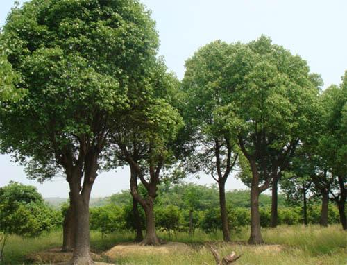 常绿乔木报价:香樟,罗汉松,五针松,龙柏,雪松,中山杉,蜀桧
