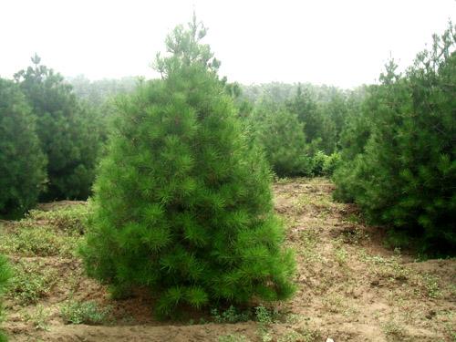 花木报价:白皮松,红豆杉,黄金香柳,油松,红花木莲,日本红枫