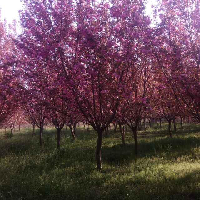 陕西西安适合种植什么风景树