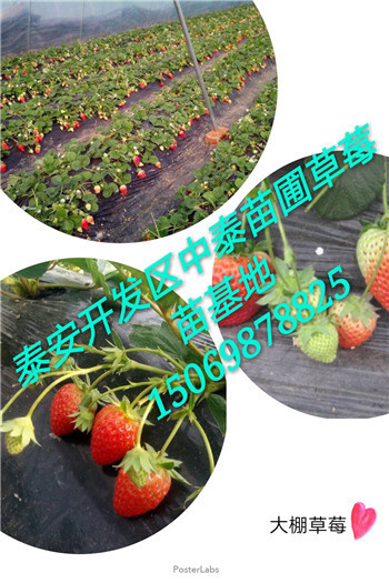 牛奶草莓苗昆明市在线咨询_云南伟德国际首页网伟德国际娱乐pt代理信息