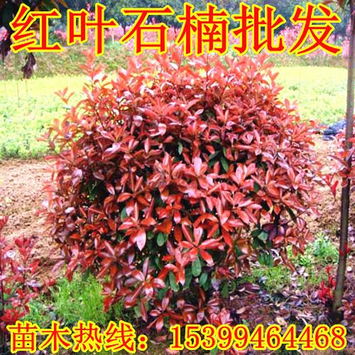 陕西红叶石楠苗圃 道路 学校绿化苗 周至红叶石楠球价格