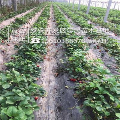 吉马草莓苗什么价格吉马草莓苗基地_云南商机网招商代理信息