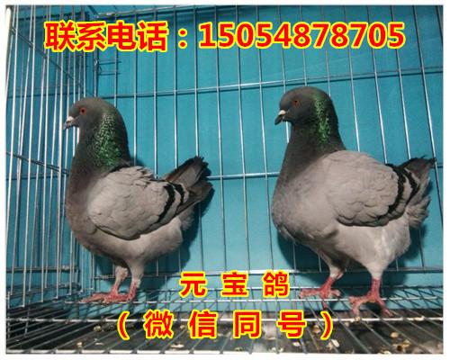 肥西县黄色国系元宝鸽多少钱_云南商机网招商代理信息