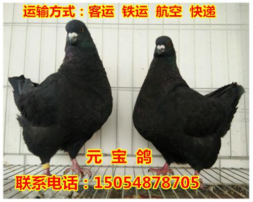 垦利县元宝鸽低价出售