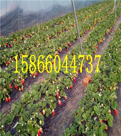 章姬草莓苗 种植培育草莓苗