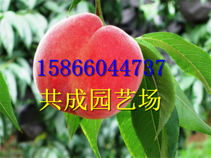 安徽宿州3/4年的 桃树苗种植园区