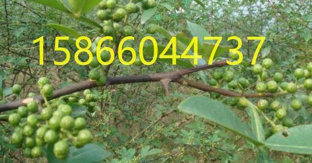 新疆吐鲁番板栗树苗种植基地报价新疆吐鲁番