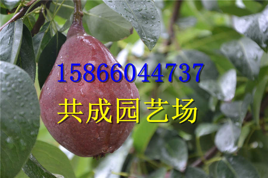 山东青岛苹果树苗种植基地报价山东青岛