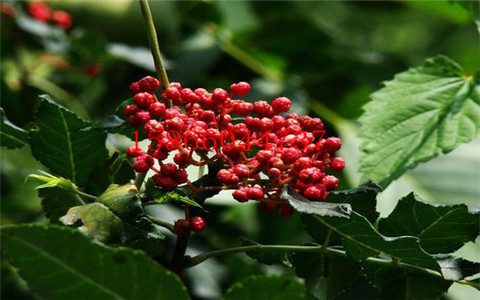 江苏淮安大棚草莓苗哪里卖一棵多少钱
