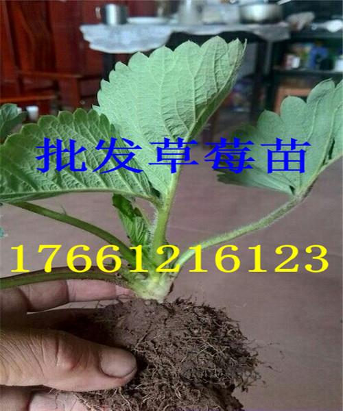 浙江舟山梨树苗新品种交易价格表头条17661216123