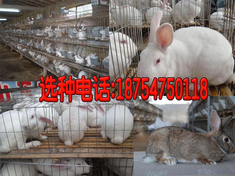 和县双城杂交野兔养殖多少钱一只