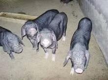 三元仔猪二元母猪 苏太黑猪苗太湖原种 长白公猪约克猪仔活体包邮