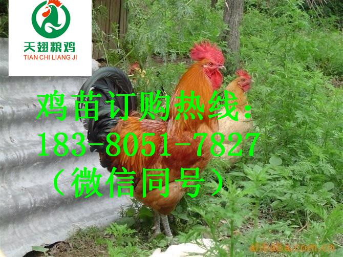 阿坝的五黑绿壳蛋鸡苗要喂什么预防药