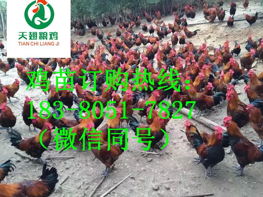 阆中的黑凤乌骨鸡要喂什么预防药