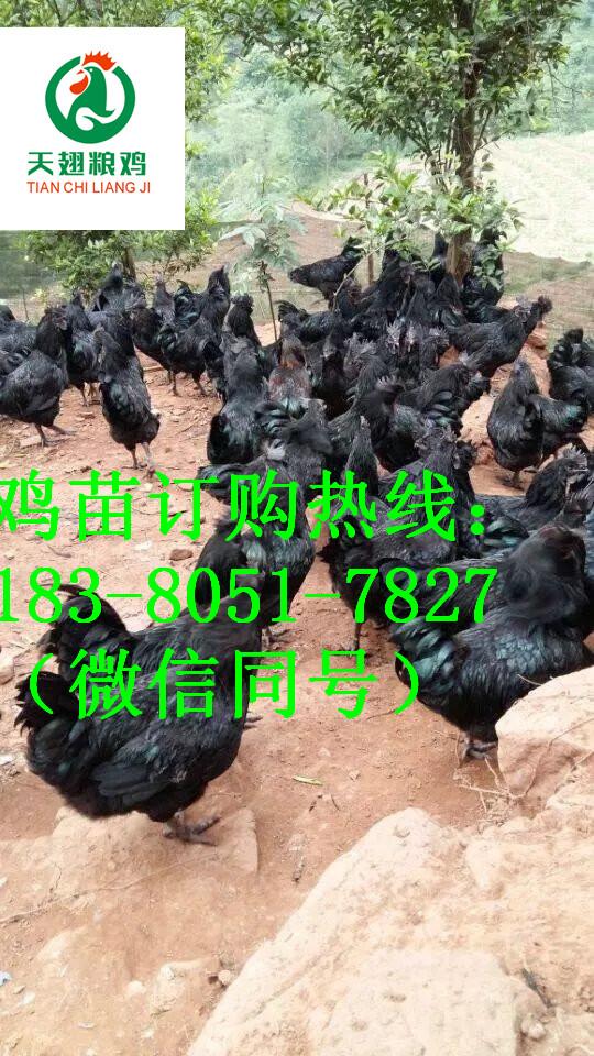 自贡的肉茶花鸡苗要喂什么预防药