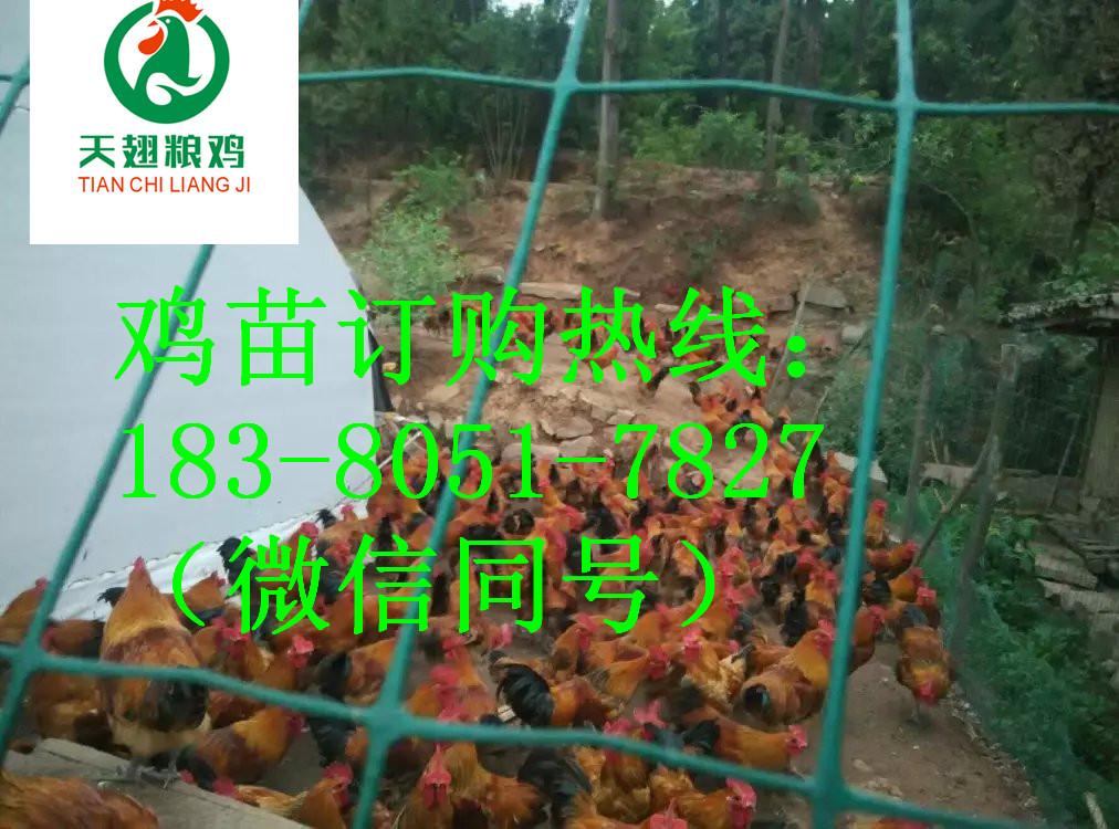 阆中的红瑶鸡苗要喂什么预防药