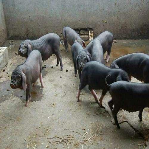 原种太湖母猪批发价格行情
