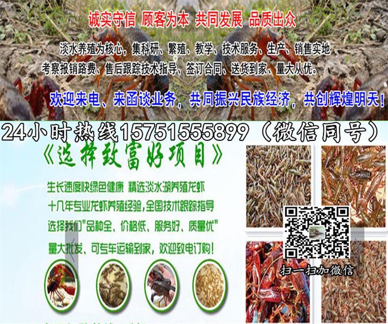 临沂市龙虾种苗一斤多少费用