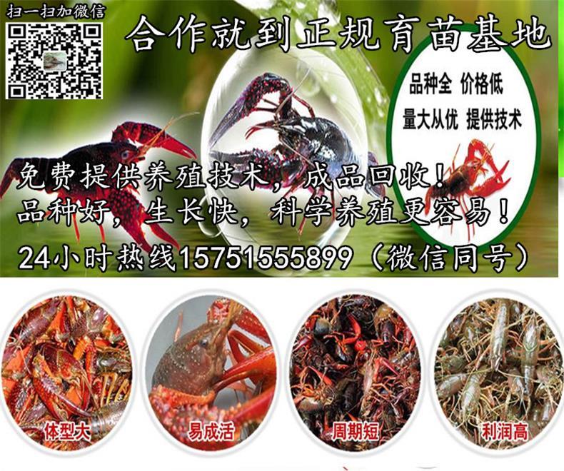 衡阳市优质小龙虾苗出售龙虾苗种批发报价