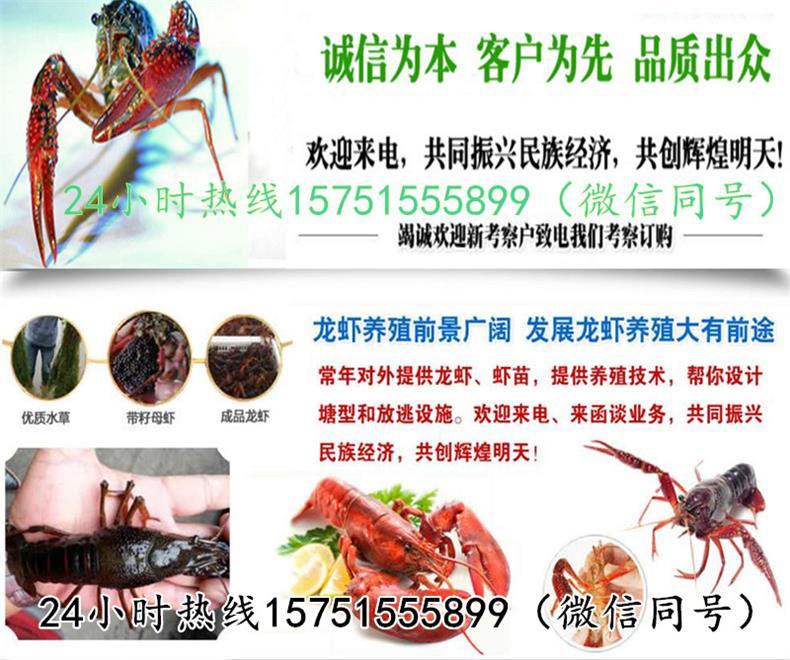 济南市常年出售龙虾苗带子种虾