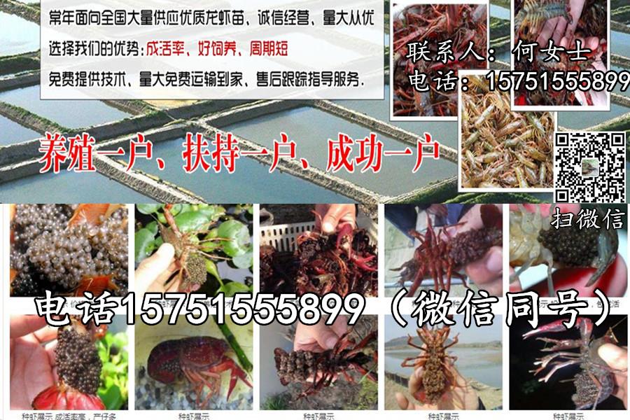 南充市小龙虾苗批发报价大量供应龙虾种苗