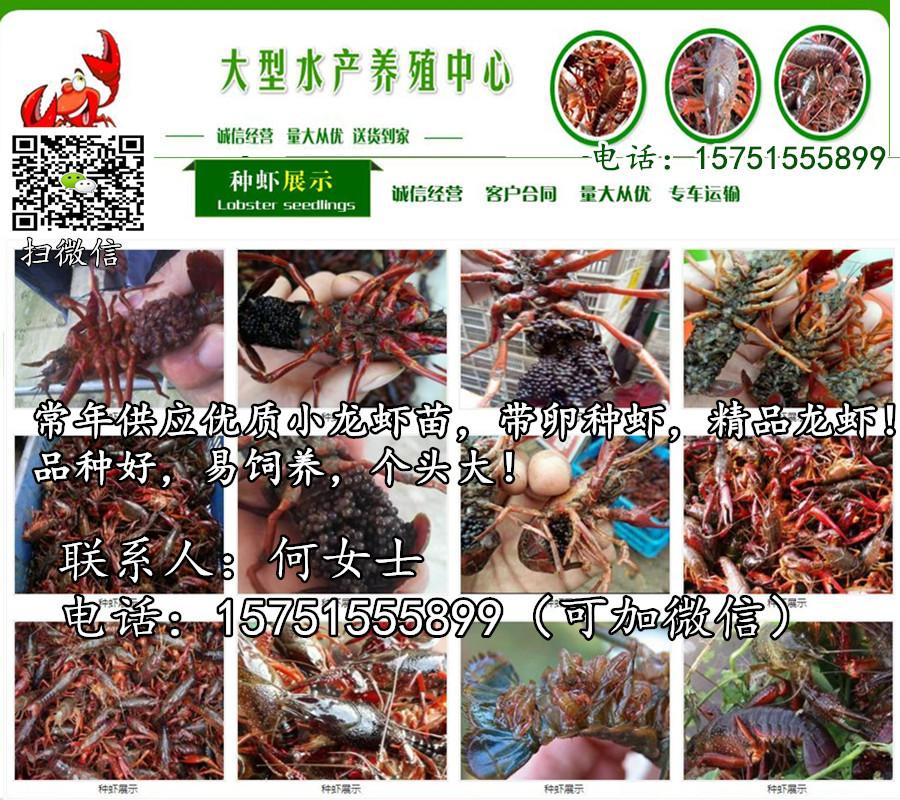 威海市小龙虾苗批发报价龙虾种苗一斤多少费用