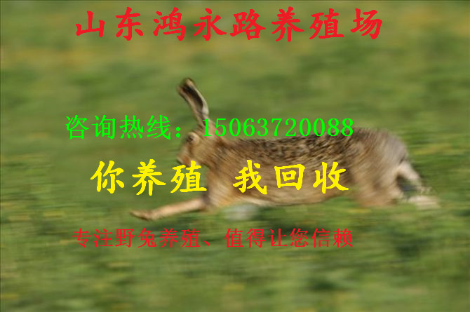 鹰潭纯种小野兔苗多少一只