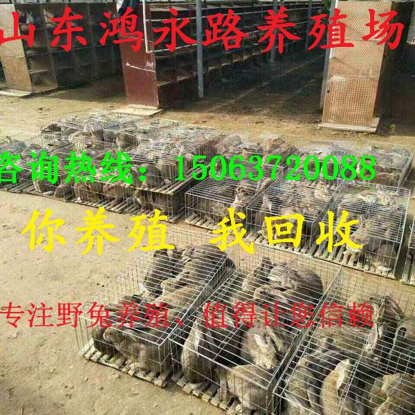 河源一代纯种野兔养殖场的种野兔苗价格多少钱