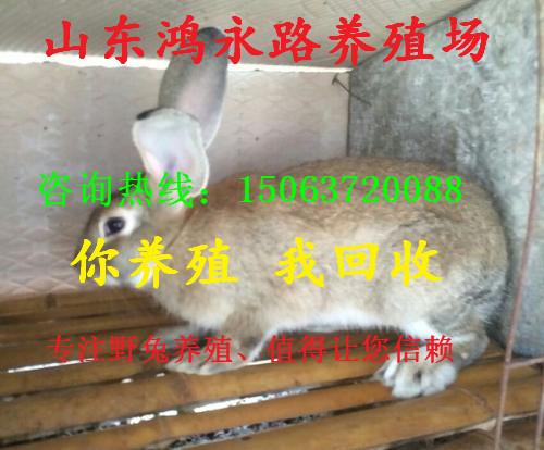湘潭纯种野兔利润杂交兔养殖比利时杂交野兔价格肉兔养殖场
