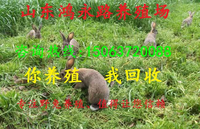 越西县杂交野兔养殖一年的纯种野兔多少钱一只