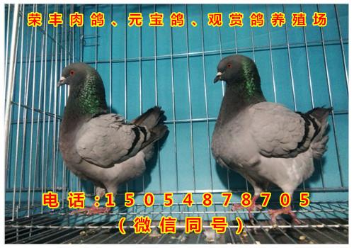山东荣丰元宝鸽观赏鸽养殖场
