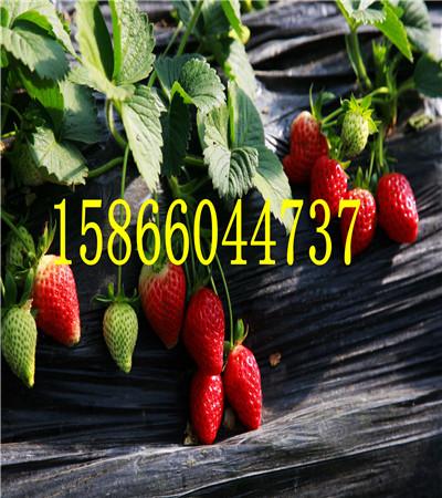 江西吉安奶油草莓苗共成草莓苗基地