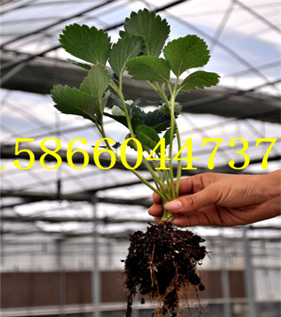 广西崇左章姬草莓苗育苗共成园艺场
