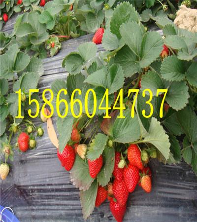 河南信阳大棚草莓苗共成草莓苗基地