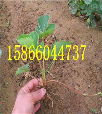 四川达州草莓苗共成草莓苗基地
