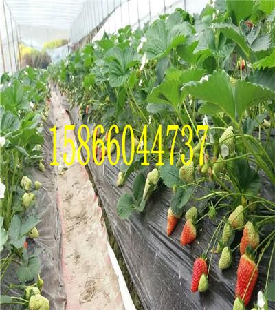 贵州安顺草莓苗共成草莓苗基地