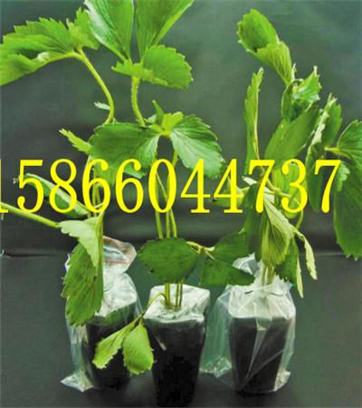 黑龙江哈尔滨大棚草莓苗示范园区