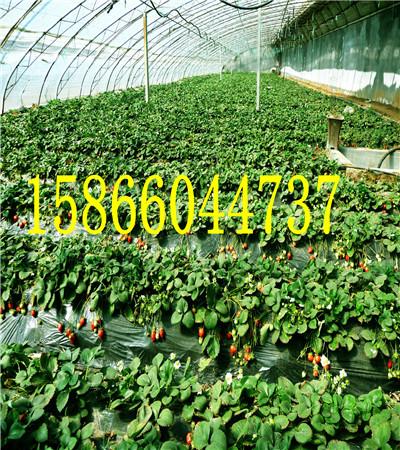 湖南郴州全明星草莓苗共成草莓苗基地