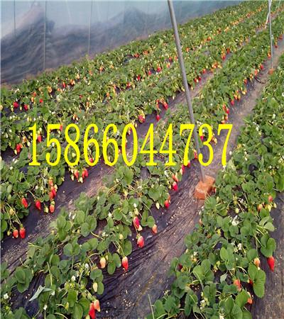 陕西延安甜宝草莓苗育苗共成园艺场