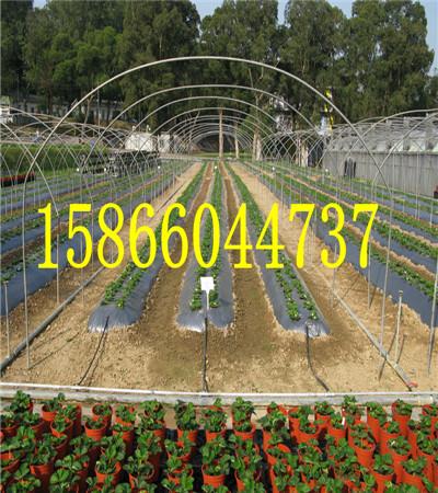 唐山陆地草莓苗草莓苗育苗基地