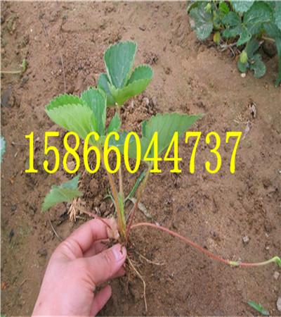 新竹陆地草莓苗草莓苗育苗基地
