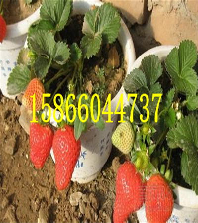 济南陆地草莓苗草莓苗品种