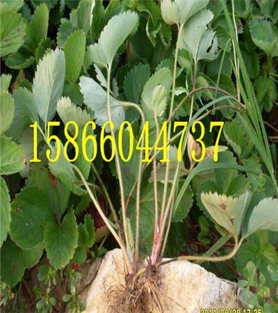 吐鲁番陆地草莓苗草莓苗育苗基地