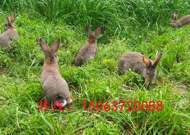 黔南今日野兔苗养殖行情、种野兔苗价格