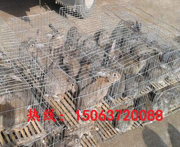 龙岩纯种野兔利润杂交兔养殖比利时杂交野兔价格肉兔养殖场