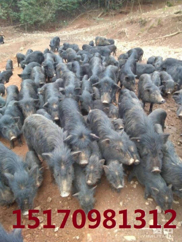 浙江瑞安市今日香猪市场价位多少钱一斤