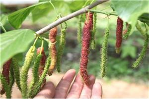 果桑苗基地果桑无籽大十品种培训种植技术联系人
