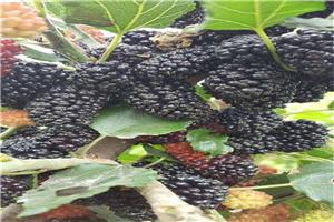 销售四川果桑品种果桑的品种寒地栽植果桑与种植农作物效益分析