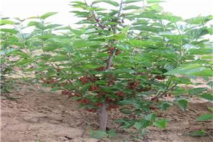 产地直销四川果桑品种无籽大十果桑苗果桑种植前景原产地