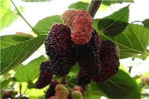 产地直销长果桑品种长果桑品种新品种果桑苗